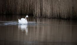 Swan in the reed